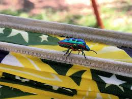 rainbow shield bug africa stories