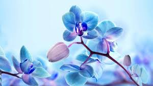 blue orchid flower blue orchid flowers flowers nature background wallpapers on