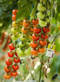 Backyard Farms Vine Ripened Tomatoes At Backyard Farms In Madison Press Herald
