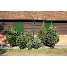 cut fraser fir real tree 5 6ft at homebase co uk