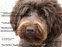 doodle doo labradoodles how to groom a labradoodle search pinteres