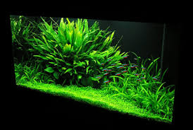 Plants For Aquascaping Background Color Aquascaping World Forum
