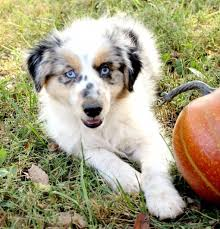 australian shepherd puppies for sale los angeles miniature australian shepherd puppies for sale