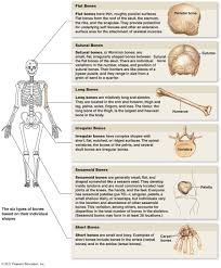 How Many Bones Form The Cranium The Skeletal System