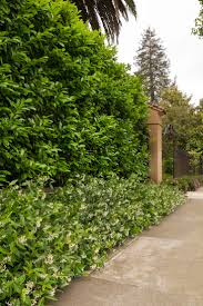 hedging plants budget wholesale nursery 25 unique laurel hedge ideas on pinterest garden hedges hedges