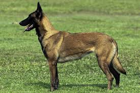belgian shepherd how much the belgian malinois great guards of the white house