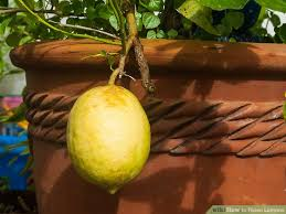 When Does A Lemon Tree Produce Fruit - 3 ways to ripen lemons wikihow