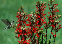 cardinal flower lobelia cardinalis cardinal flower seeds plants