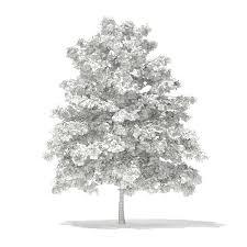 pedunculate oak quercus robur 6 9m by cgaxis 3docean