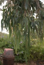 native plants canberra 618 best eucalypt and other australians images on pinterest