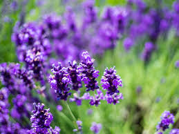 the flowers of summer at the reader s digest guide to the best summer flowers in canada