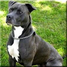 american pit bull terrier vs american staffordshire terrier 10 breeds most commonly mistaken for pit bulls pethelpful