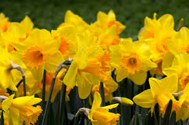 daffodils free download clip art free clip art on clipart