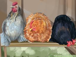 Can You Have Chickens In Your Backyard How To Keep Chickens In A City 15 Steps With Pictures Wikihow