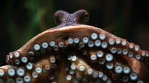 cephalopod week 2017 unparallelled mimicry abilities distributed