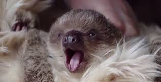 edward the 7 week old sloth arrives at london zoo youtube