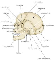 Human Anatomy And Physiology Study Guide Pdf Parts Of The Human Skull Biology101 Study Guide Nursing 101
