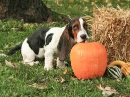 boxer dog upset stomach pumpkin for treating dog diarrhea american kennel club