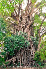 travel freak siquijor and oldest and largest balete