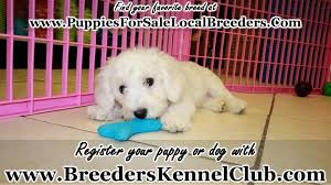 bichon frise kennels bichon frise puppies for sale georgia local breeders youtube