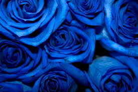 blue roses blue roses by dchandan on deviantart