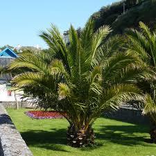 pair hardy phoenix date palms 1 2 1 4m tall amazon co uk garden