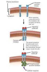 introduction to cell signaling article khan academy
