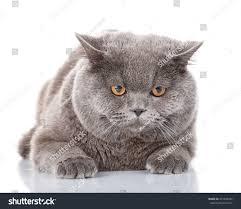 portrait evil big gray cat british stock photo 451408432