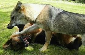 belgian shepherd kinds german shepherd vs gray wolf what is the difference between a