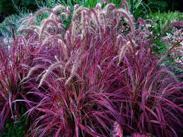 splendor in the grasses grass perennials and grasses