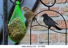 female house sparrow eating at a bird feeder stock photo royalty