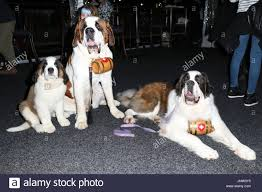 saint bernard dogs celebrities arrive at the winter garden sydney