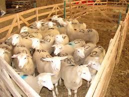 raising and finishing lambs on pasture cornell small farms program