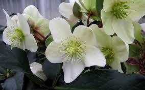 buy helleborus gold collection bug ranunculaceae