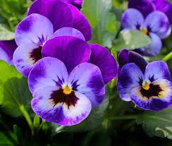 fiori viola crema di ceci con fiori di viola guacamole for breakfast