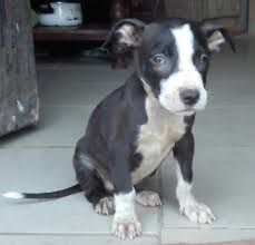 american pitbull terrier dog price solid female american pitbull terrier puppy for sale pets