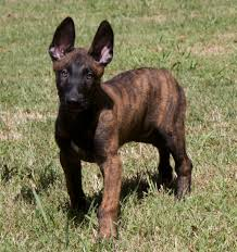 belgian shepherd health problems dutch shepherd dog puppy dog gallery