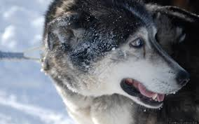 dog snow face husky wallpaper free wallpapers stock