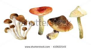 edible mushrooms stock images royalty free images u0026 vectors