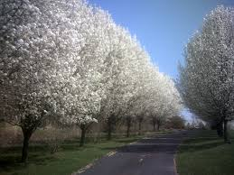 beautiful pear trees in bloom day 111 ornamental bradfor flickr