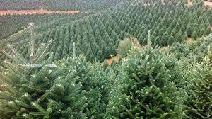 fresh cut trees coming soon tree farm