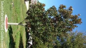gem magnolia tree