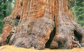 Trees Worldwide The Sequoia Sequoiadendron Giganteum The Tree In