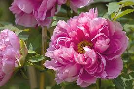 The Pink Peonies by Flower Pink Peonies Flowers Flower Nature Pattern Desktop