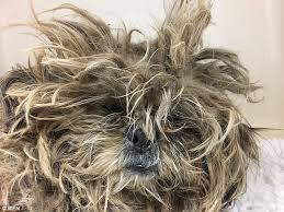cairn hair cuts neglected dog with a mop of dirty matted gets a hair cut daily