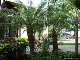 date palm tree roebelenii