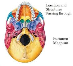 Base Of The Skull Anatomy Location Of Foramen Magnum And The Structures Passing Through It