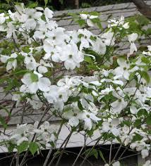 white flowering dogwood cool when do dogwood trees bloom on flowering dogwood tree large