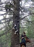 bluetick coonhound climbing tree dry ground hall of fame biggamehoundsmen com