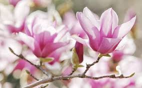Magnolia Wallpaper Magnolia Flower Wallpaper